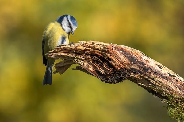 Blue Tit Autumn by photographerjoe