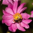 Honeybee on anemone by oldgreyheron