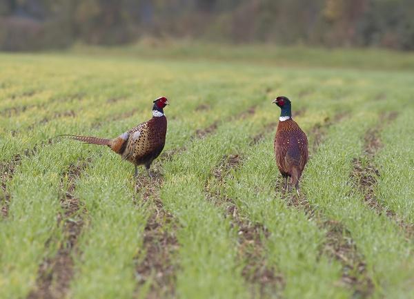 Cock Pheasants by lawbert