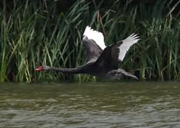 Black Swan in Flight