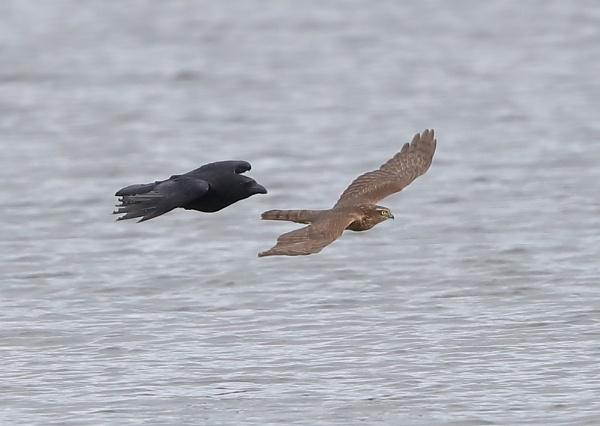 Sparrow Hawk Crow Chase by NeilSchofield