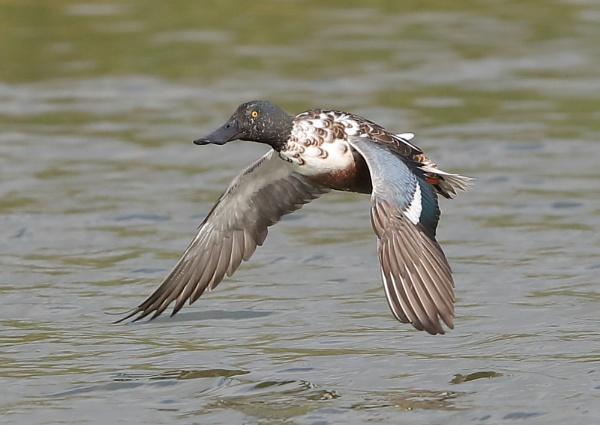 Shoveller in Flight by NeilSchofield
