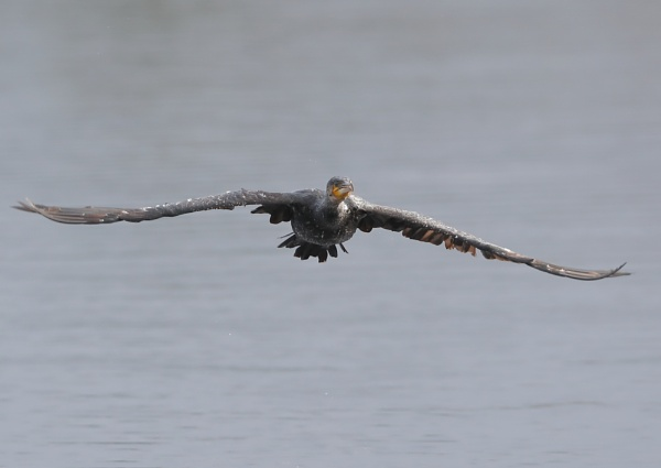 Cormorant Head on Sequence by NeilSchofield