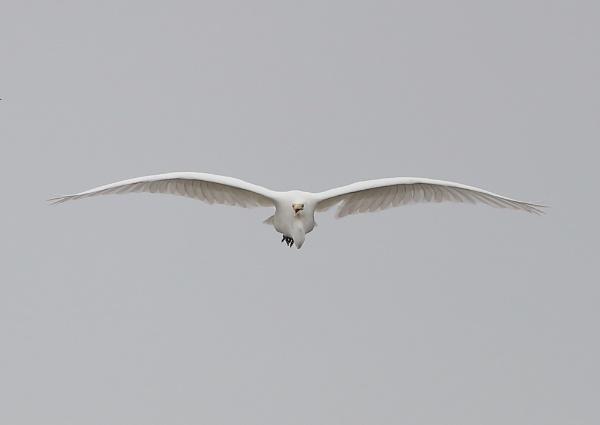 Great Egret in Flight by NeilSchofield