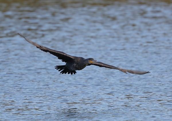 Cormorants in Flight by NeilSchofield