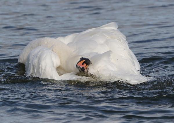 Swan bathing by NeilSchofield
