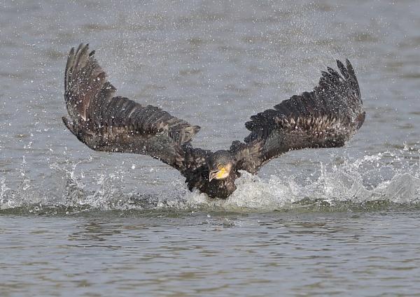 Cormorant Bathing by NeilSchofield