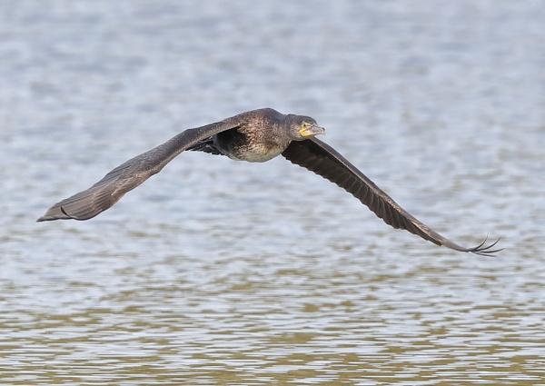 Cormorant in Flight Sequence by NeilSchofield