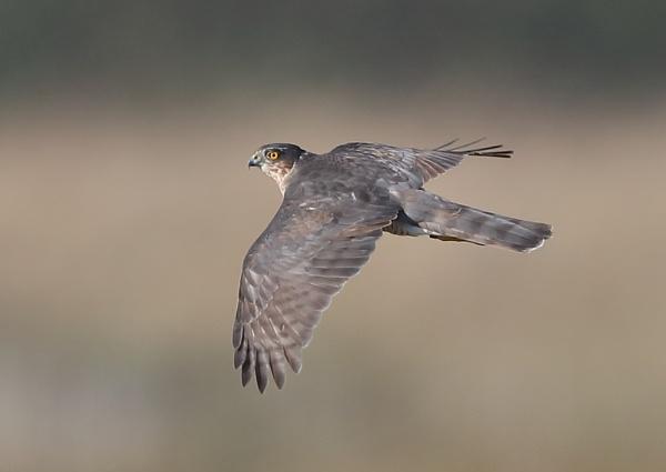 Sparrowhawk in Flight by NeilSchofield