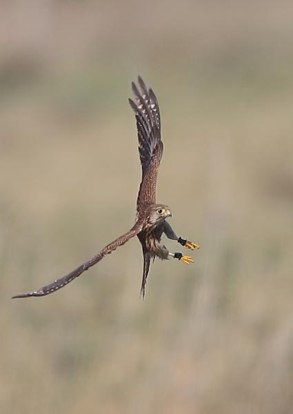 Young Kestrel In Flight by NeilSchofield