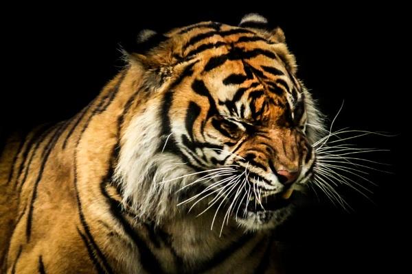 Tiger by AllanP
