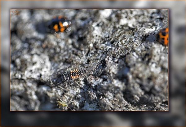 Ladybird (Ladybug) Metamorphosis by LynneJoyce