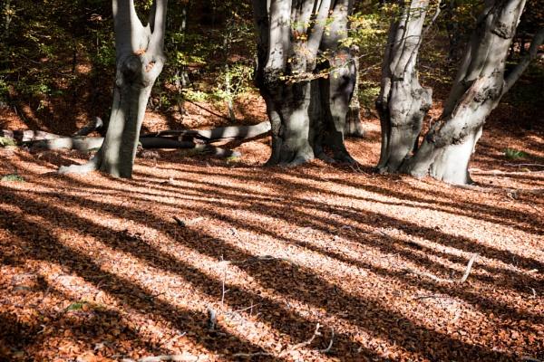 Saturday shadows of pollarded Beech trees by rambler