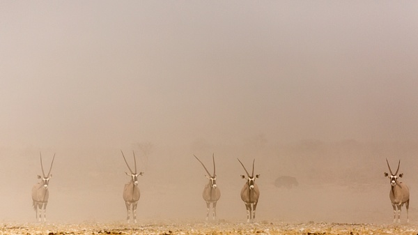 Gemsbok in the dust by rontear