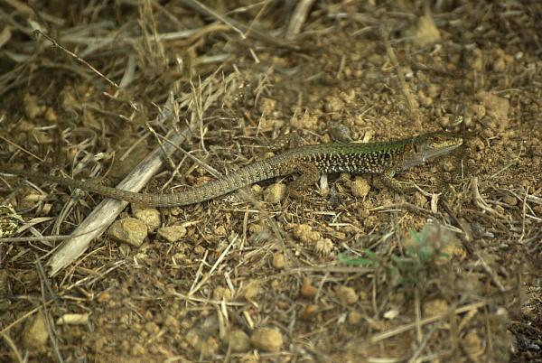 Italian Wall Lizard - Podarcis sicula by TonyDy
