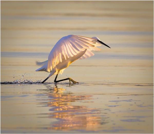 Egret stalking by mjparmy