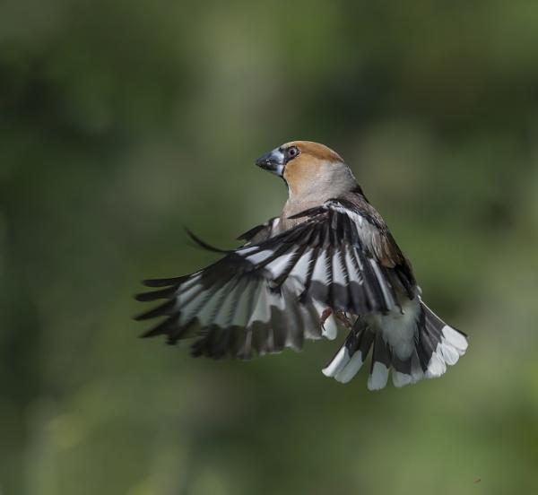 Hawfinch In Flight by hasslebladuk