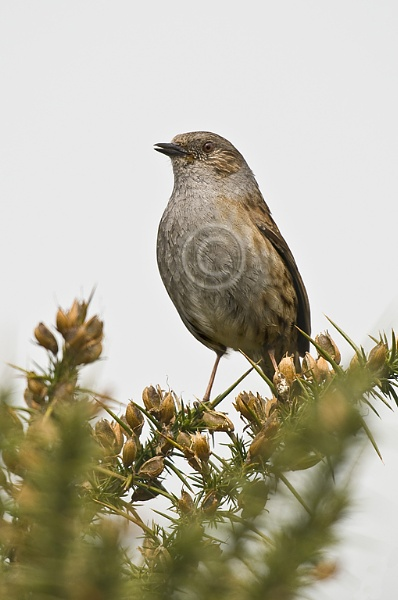 Singing Dunnock by DARPhotography