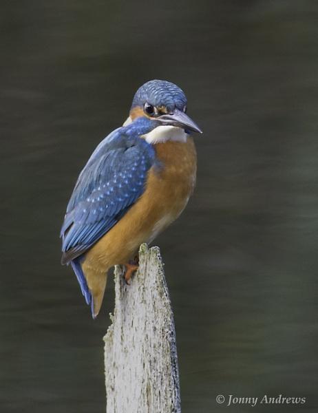 Kingfisher by JonnyNI