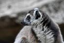 Lemur by ColleenA