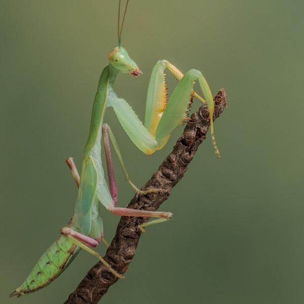 Preying Mantis - Indochina by RobertTurley