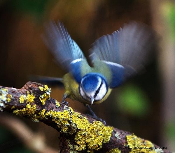 Blue Tit. by johnvincint