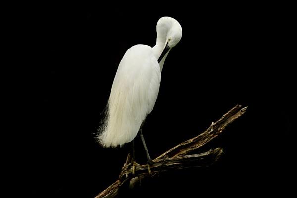 Little Egret preening--Egretta garzetta by bobpaige1