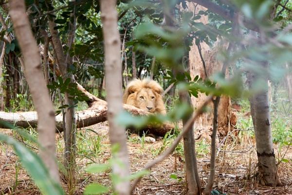 Lion in wait. by Gerryatric