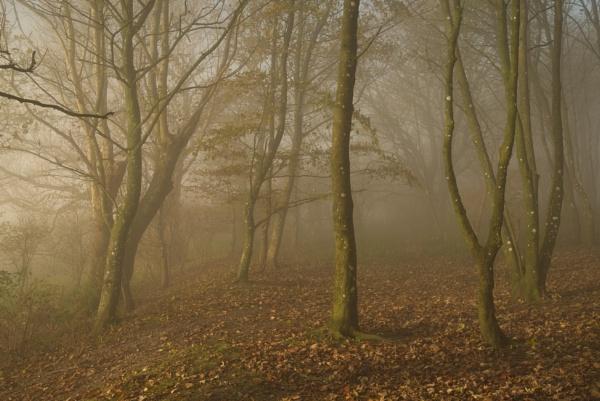misty woodland by alfpics