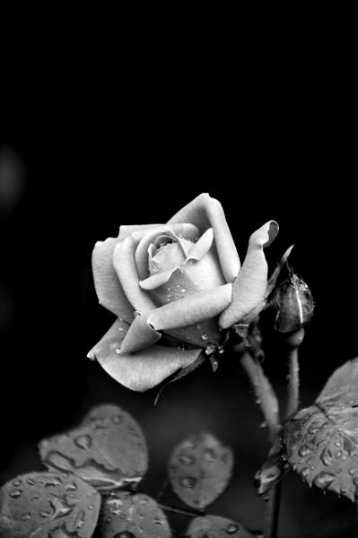 *** Rose *** by Spkr51