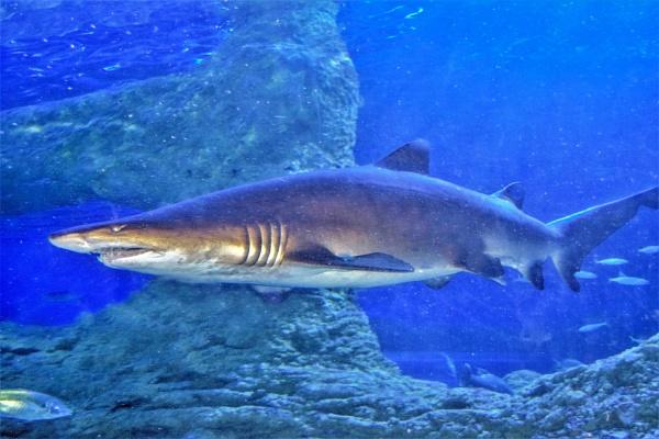 Shark by geoffgt