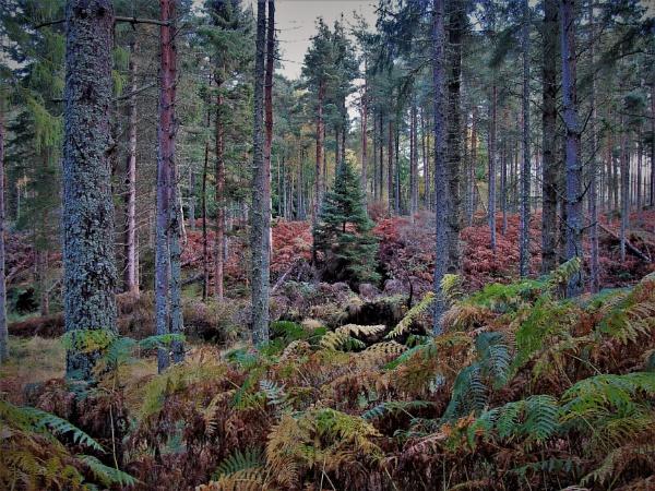 Autumnal Series - Conifer Forest Ferns & Lichens by PentaxBro
