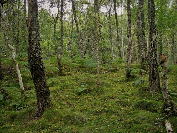 Autumnal Series - Mossy Birches by PentaxBro
