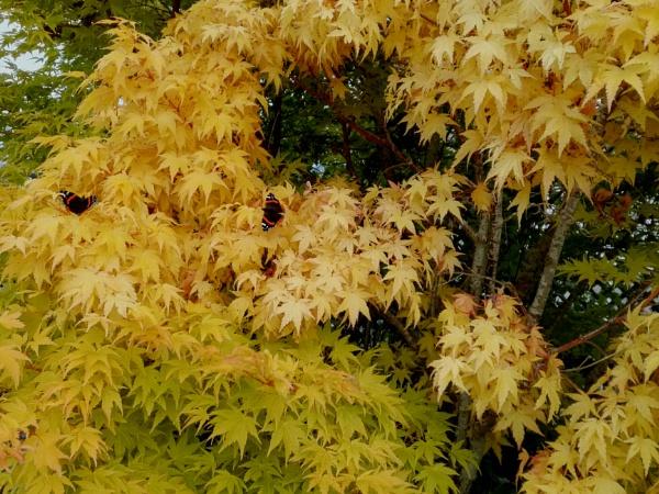 Autumnal Series - Butterflies Love Yellow