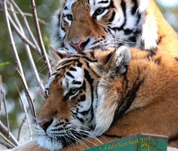 A tiger tier, before tiger tears... by ladynewbury