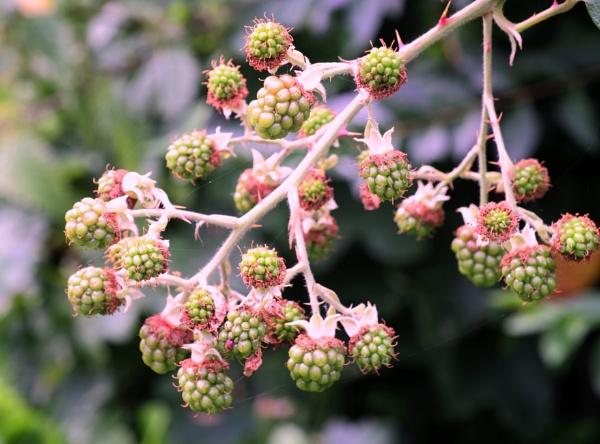 blackberrys by debbieleigh50