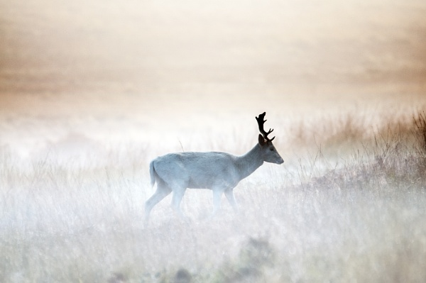 Deer in the mist by dven