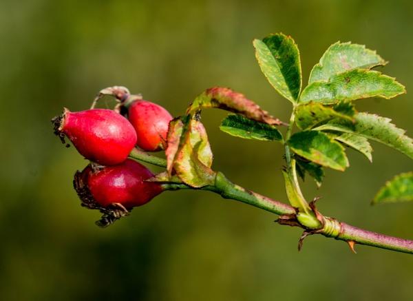 rose hips by madbob