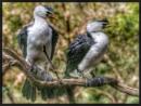 Pied Cormorants by martin174