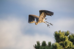 Heron leaving tree