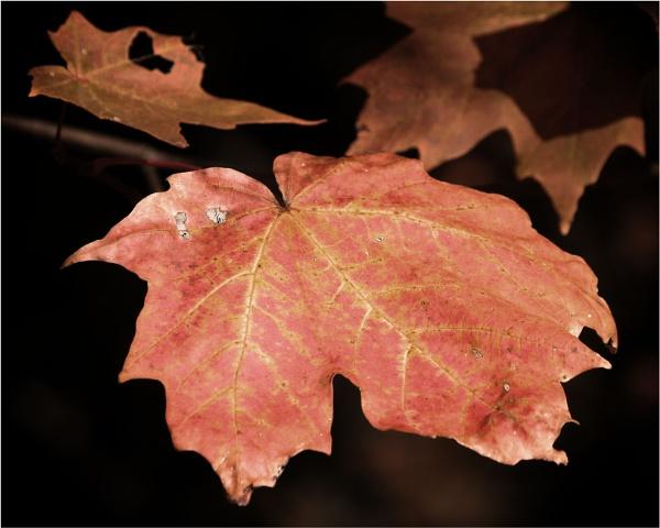Autumn maple by KingBee