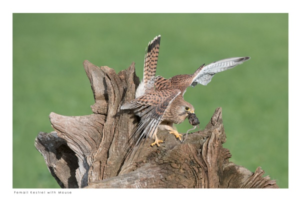 Female Kestrel with Mouse by running_man