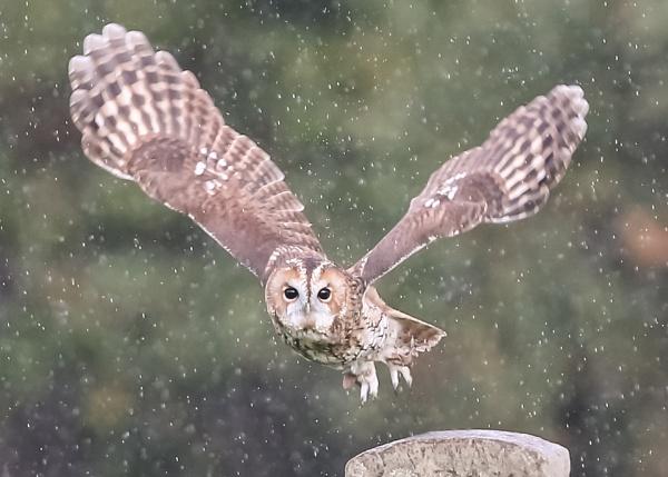 Rainy Owl by Mounters