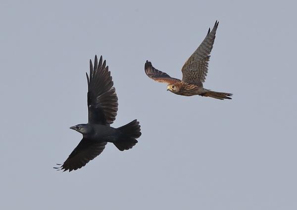 Female Kestrel and Crow by NeilSchofield