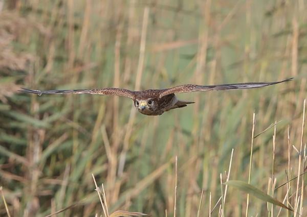 Young Female Kestrel in Flight by NeilSchofield