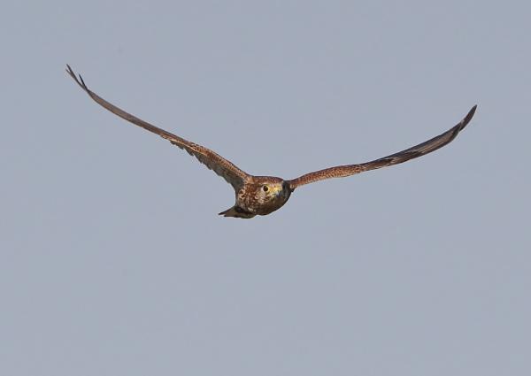 Female Kestrel in Flight by NeilSchofield