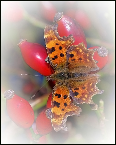 """Comma on Rosa canina\"". by Badgerfred"