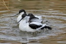 Avocets by colin beeley