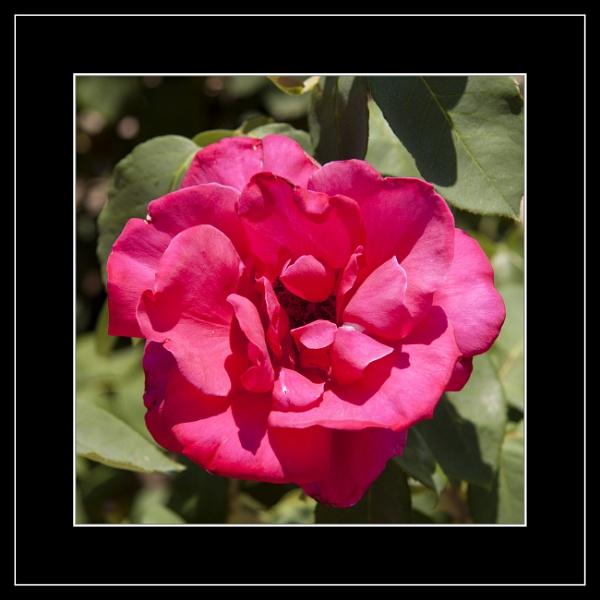 Red Flower by r0nn1e