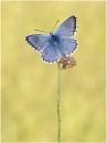 Chalk-Hill Blue by NigelKiteley